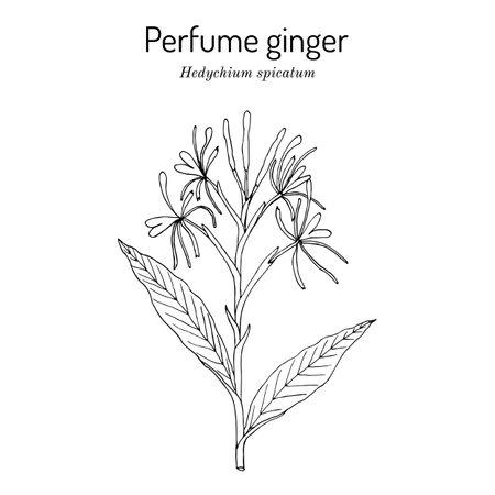 Perfume ginger hedychium spicatum, medicinal plant Иллюстрация