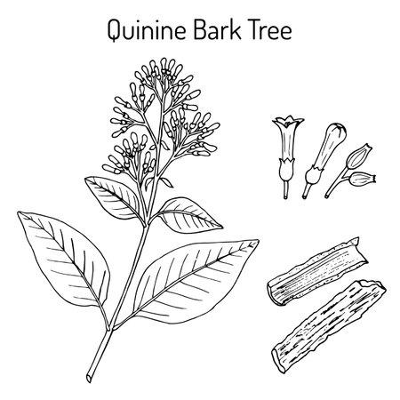 Quinine Bark Tree Cinchona officinalis, medicinal plant Иллюстрация