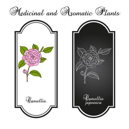 Japanese camellia Camellia japonica, ornamental and medicinal plant Иллюстрация