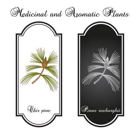 Chir pine Pinus roxburghii, medicinal plant Stock Illustratie