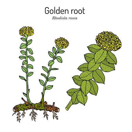 Golden Root rhodiola rosea, medicinal plant Иллюстрация