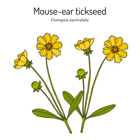 Mouse-ear tickseed Coreopsis auriculata, perennial plant,