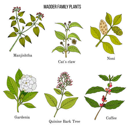 Rubiaceae or coffee, madder, or bedstraw family of flowering plants.