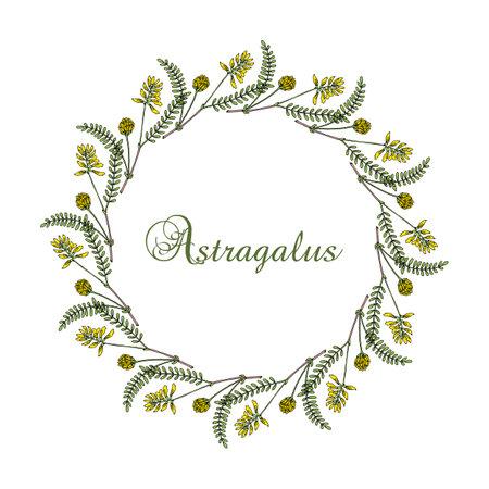 Wreath of Milkvetch astragalus, medicinal plant Иллюстрация