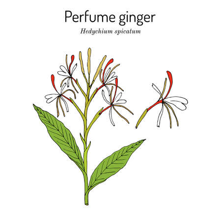 Perfume ginger hedychium spicatum , medicinal plant