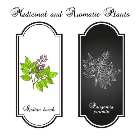 Indian beech or Pongam oiltree Pongamia or Millettia pinnata , medicinal plant Иллюстрация