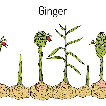 Ginger plant seamless border
