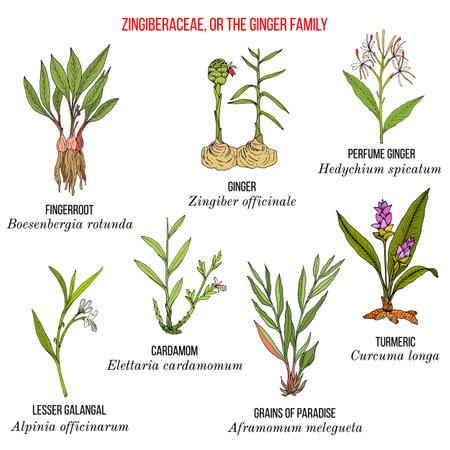 Set of the ginger family plants.