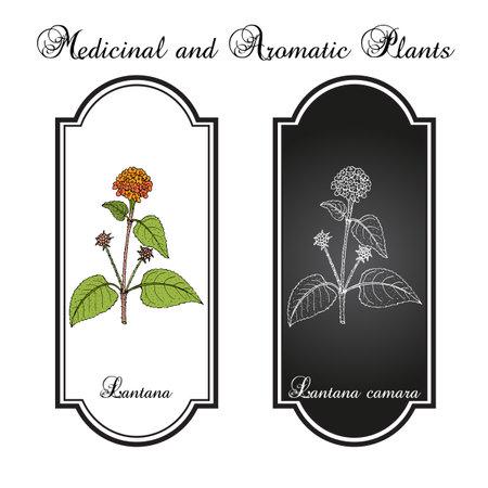 Common lantana Lantana camara , medicinal plant.