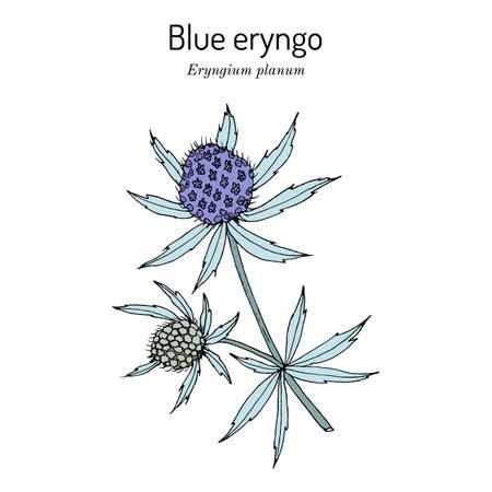 Blue Eryngo, or flat sea holly Eryngium Planum , medicinal plant