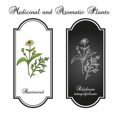 Rosinweed Silphium integrifolium , medicinal plant Illustration