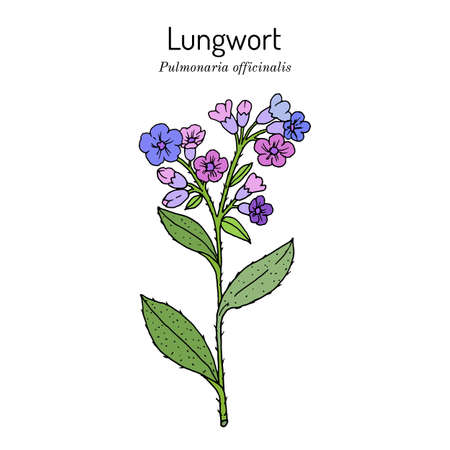 Lungwort Pulmonaria officinalis - medicinal and honey plant