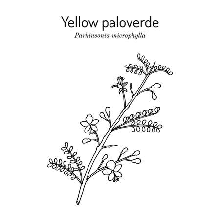 Yellow palo verde or little-leaved paloverde Parkinsonia microphylla , edible and ornamental plant