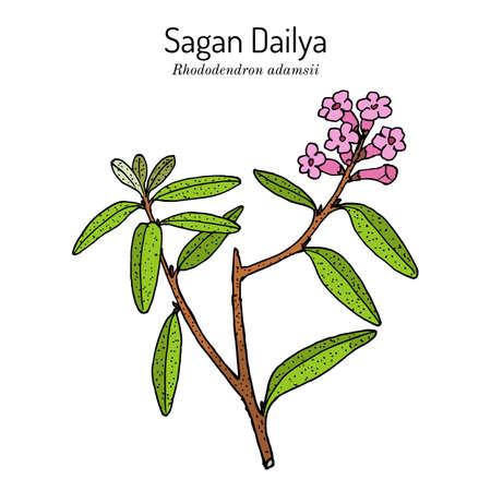 Saagan Dailya Rhododendron adamsii , medicinal plant