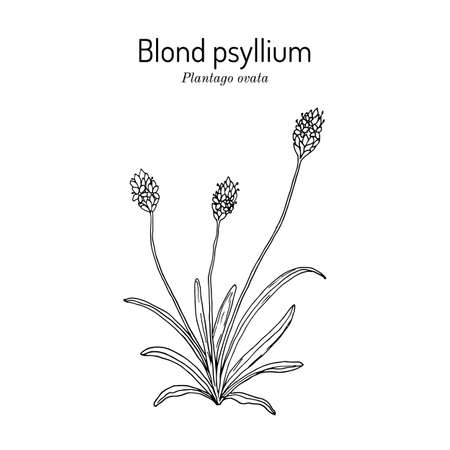 Blond plantain or psyllium, or desert Indianwheat, or ispaghul, plantago ovata , medicinal plant.