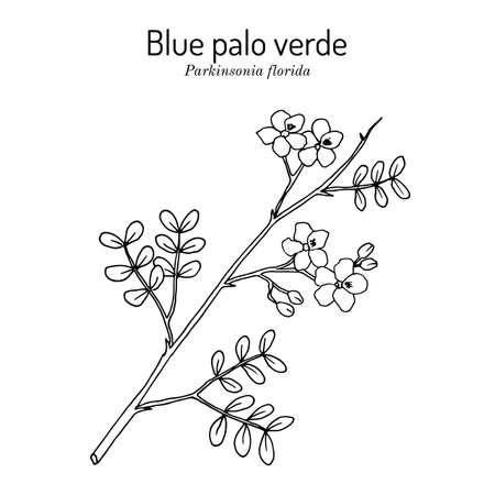 Blue palo verde Parkinsonia florida , edible and ornamental plant