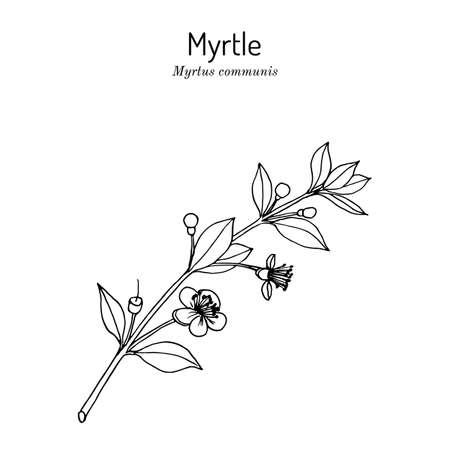 Myrtle or Myrtus communis, vector illustration Vecteurs
