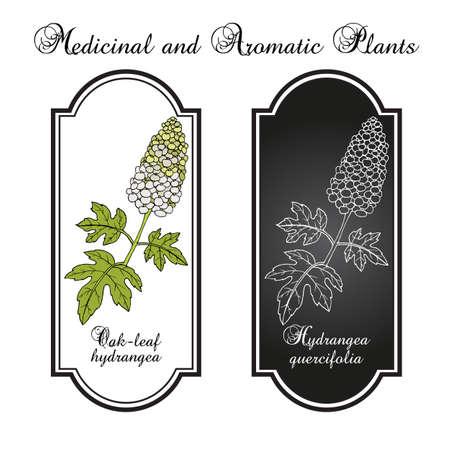 Oak-Leaf Hydrangea Hydrangea quercifolia , ornamental plant