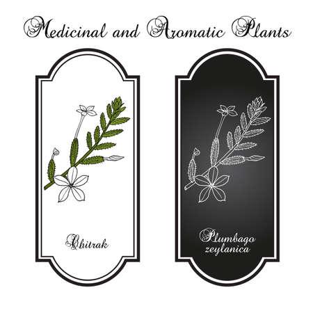 Ceylon leadwort, or chitrak Plumbago zeylanica , medicinal plant