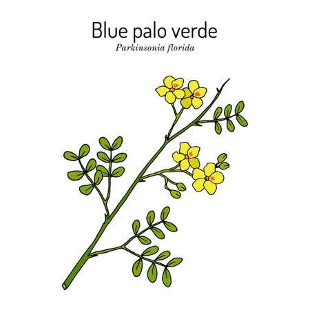 Blue palo verde Parkinsonia florida , edible and ornamental plant Standard-Bild - 164375378