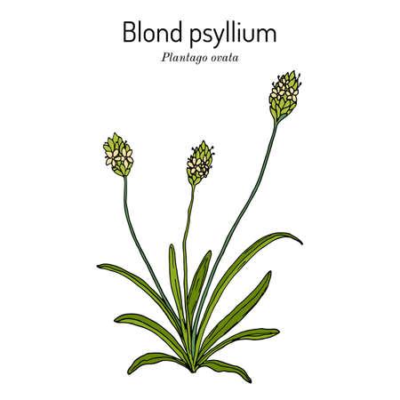 Blond plantain or psyllium, plantago ovata , medicinal plant