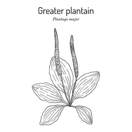 Great plantain. Plantago major - medicinal plant Illustration
