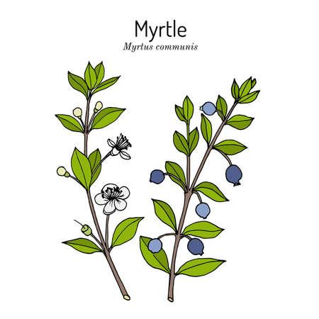 Myrtle Myrtus communis , medicinal plant Illustration