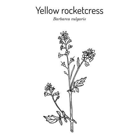 Bittercress, herb barbara, yellow rocketcress, winter rocket, barbarea vulgaris , medicinal plant Illustration