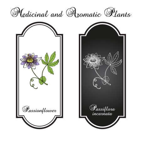 Purple passionflower Passiflora incarnata, medicinal plant Vecteurs