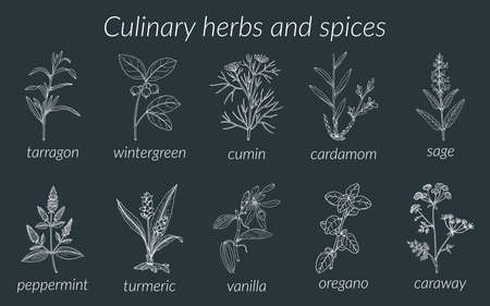 Culinary herbs and spices. Botanical vector illustration