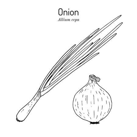 Onion allium cepa , kitchen and medicinal plant