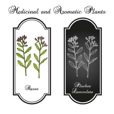Rasana, or Rasna pluchea lanceolata , medicinal plant Standard-Bild - 164135780