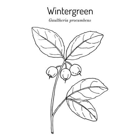 American wintergreen - gaultheria procumbens - aromatic plant Illustration