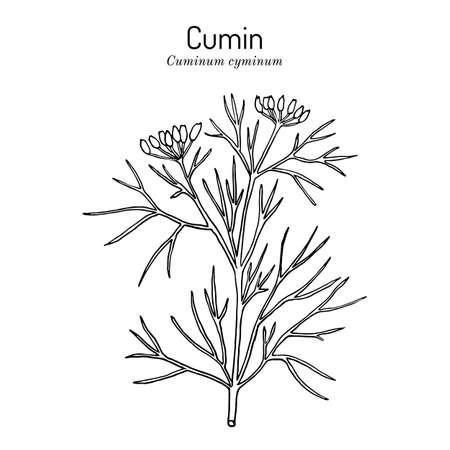 Aromatic plant cumin cuminum cyminum