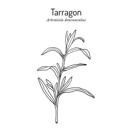 Tarragon artemisia dracunculus , aromatic kitchen and medicinal herb