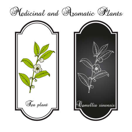 Tea plant Camellia sinensis. Hand drawn vector illustration