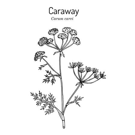 Caraway carum carvi , or meridian fennel, persian cumin, aromatic kitchen and medicinal herb