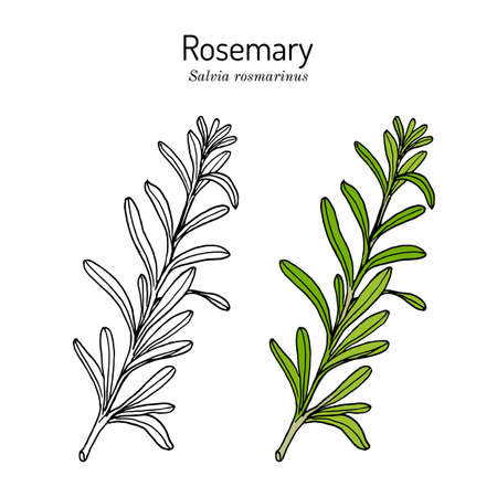 Rosemary, spice and medical herb Illustration