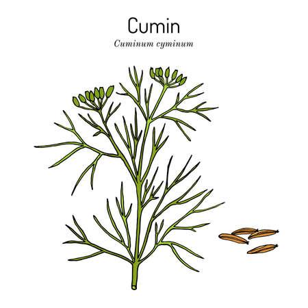 Aromatic plant cumin cuminum cyminum Ilustracje wektorowe