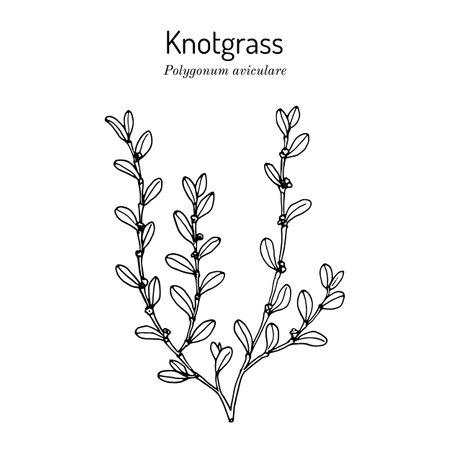 Common knotgrass, medicinal plant