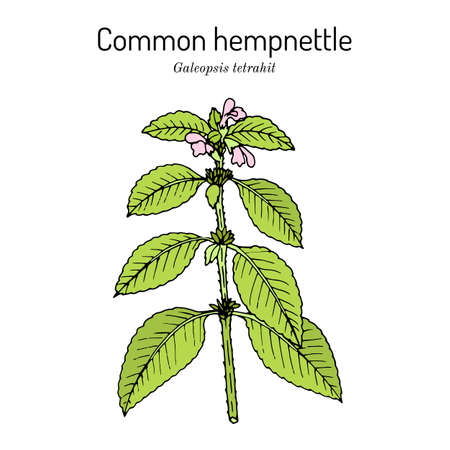 Common hemp-nettle or brittlestem hempnettle, galeopsis tetrahit , medicinal plant