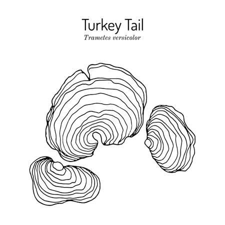 Turkey tail mushroom Trametes versicolor , medicinal plant