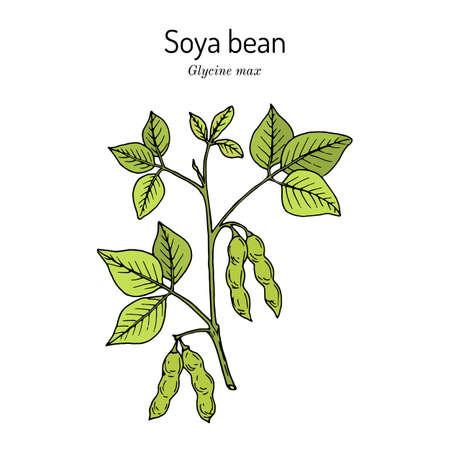 Soybean, or soya bean Glycine max . Illustration