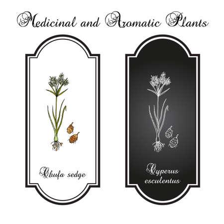 Chufa sedge Cyperus esculentus , edible and medicinal plant Standard-Bild - 165035447