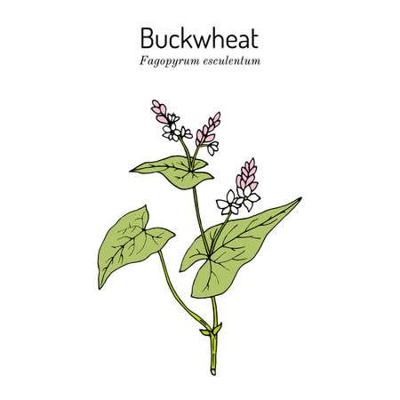 Buckwheat Fagopyrum esculentum , kitchen and medicinal plant