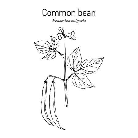 Common bean Phaseolus vulgaris