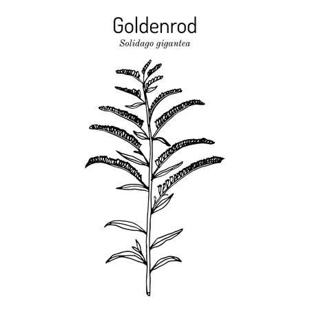 Goldenrod Solidago gigantea , medicinal plant