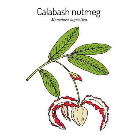 Calabash nutmeg monodora myristica , medicinal plant
