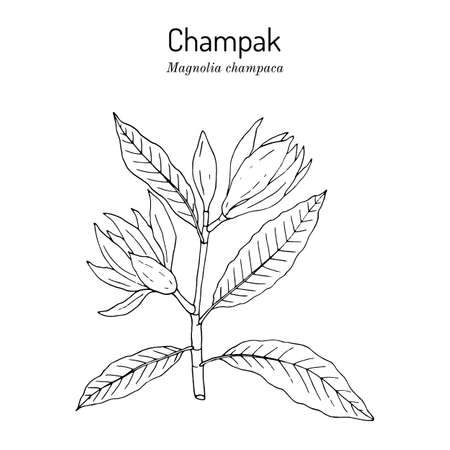 Champak or yellow jade orchid tree magnolia champaca , medicinal plant
