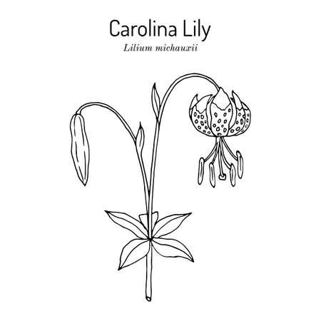 Carolina Lily Lilium michauxii , state flower of South Carolina